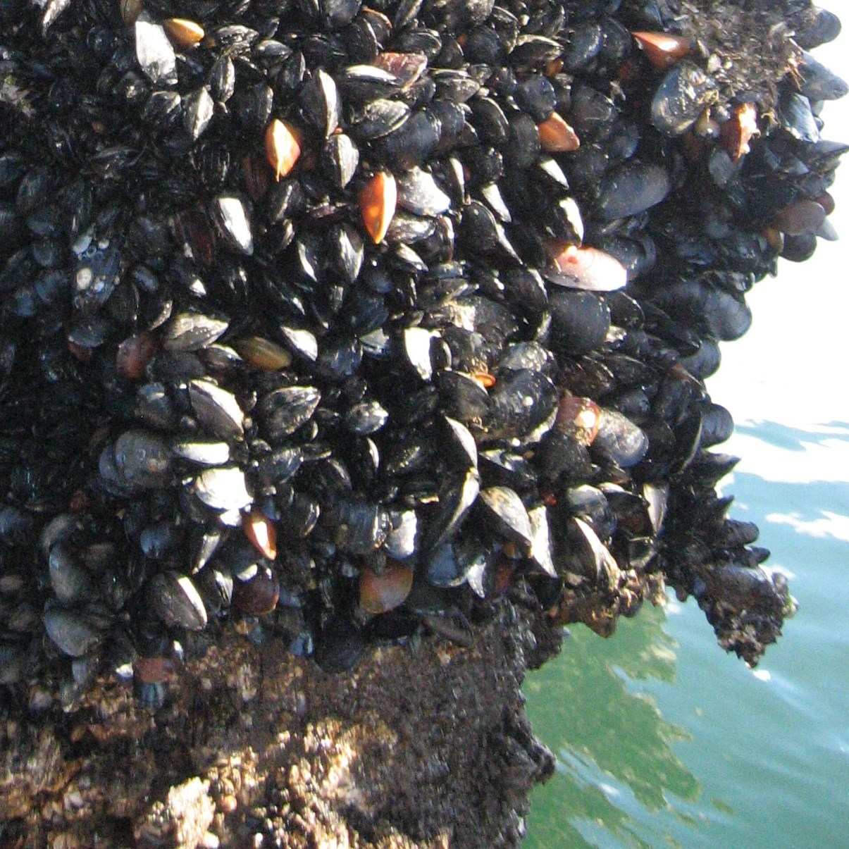 Mussel Watch
